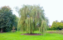 Weeping willow tree also known as Babylon willow on the background green grass - Belfast, Northern Ireland