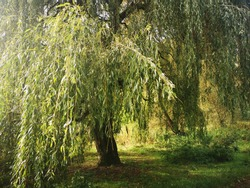 Weeping Willow Tree, Barclay Park, Hertfordshire, UK