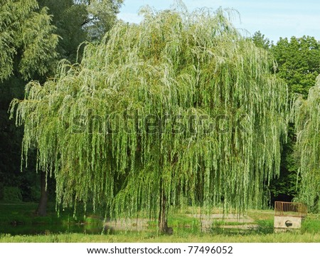 Weeping willow tree in the public park