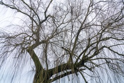 Weeping Willow Tree in winter with no leaves, bare branches and white winter sky.