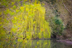 Weeping Willow Tree with brilliant display of drooping yellow catkins reflected in river.