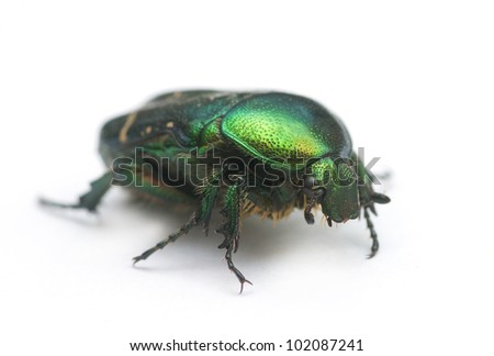 weevil beetle on a white background