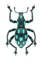 Weevil beetle Pachyrrhynchus helleri on a white background