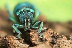 Weevil (Eupholus schoenherri petiti) from Indonesia