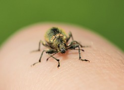 weevil is crawling on a hand.