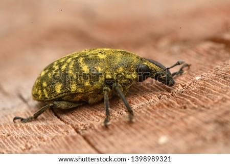Weevil Larinus sturnus from Curculionidae or snout beetles