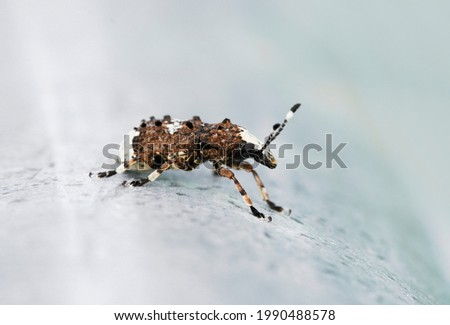 Weevil, Platystomos albinus, long-feeler weevil. Close up of insect. Macro shot of brown beetle. Stockfoto ©