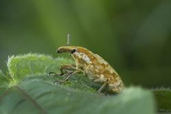 Weevils (Snout Beetles; Bark Beetles)