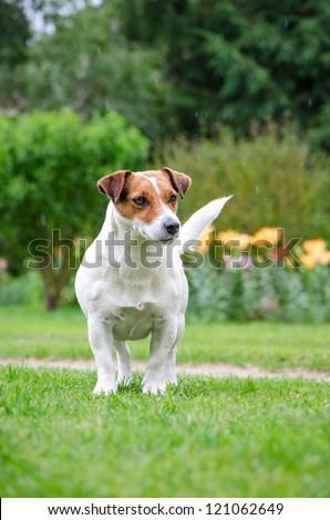 Weiblicher Jack Russell Terrier. Female Jack Russell Terrier.