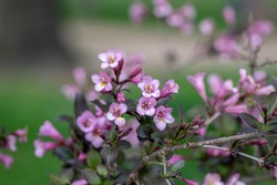 Weigela florida tango cultivated small flowering shrub, purple pink small flowers in bloom and leaves on branches