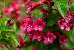 Weigela Towers of Flowers Cherry flowers in summer garden