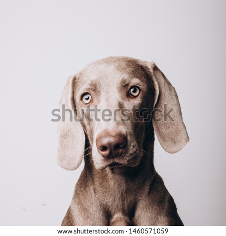 Weimar dog solid color background front portrait portrait