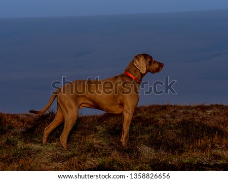 Weimaraner a german hunting dog #1358826656