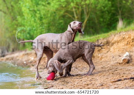 Weimaraner adult dog and a puppy playing lakeside #654721720