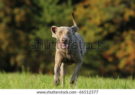 Weimaraner comes fast and happily #66512377