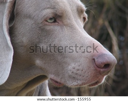 weimaraner hunting weimaraner dog sitting on the find similar images
