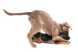 Weimaraner dog and crossbreed puppy in a playful fight, isolated on white.