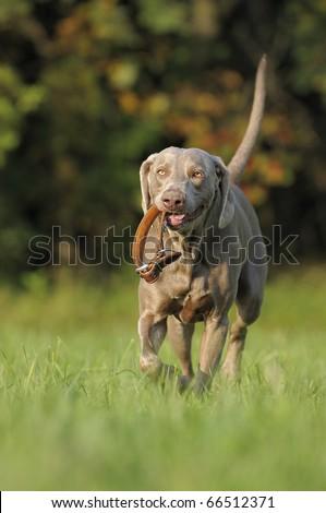 Weimaraner dog brings happily neckband #66512371