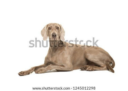 Weimaraner dog lying down looking at the camera seen from the side isolated on a white background #1245012298