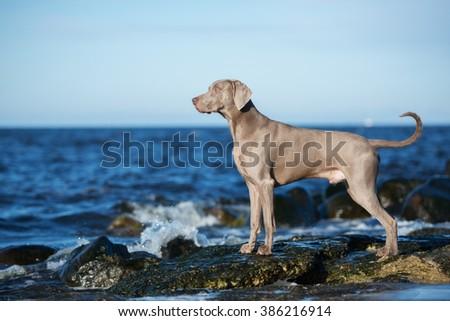 weimaraner dog on a beach #386216914