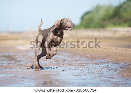 weimaraner dog running on the beach