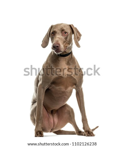Weimaraner dog sitting, isolated #1102126238
