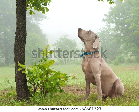 Weimaraner dog sitting under a tree, watching closely at something up in the tree on a foggy day - stock photo