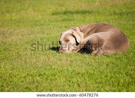 Weimaraner dog sleeping on grass on a sunny summer day
