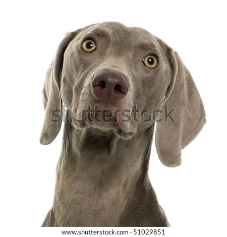 Weimaraner in front of white background, studio shot