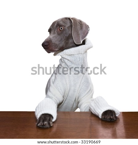 Weimaraner in sweater isolated on white background