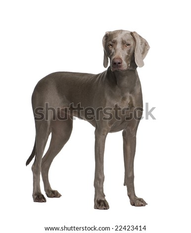 Weimaraner (9 months) in front of a white background