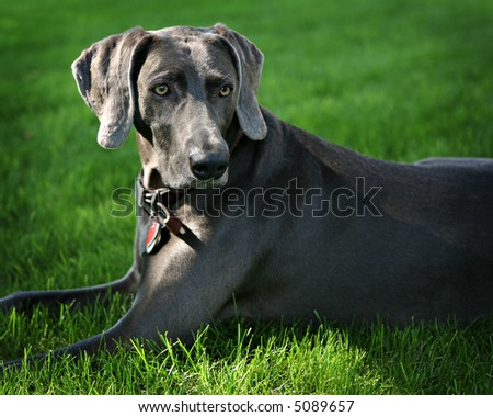 Weimaraner, Outdoor Portrait
