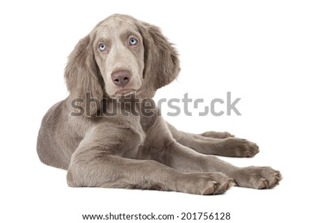 Weimaraner puppy, three months old, lying. Isolated on white  #201756128