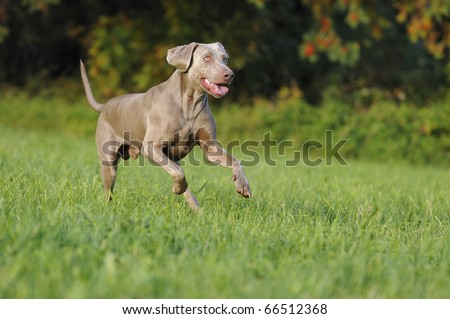 Weimaraner  runs happily above the meadow