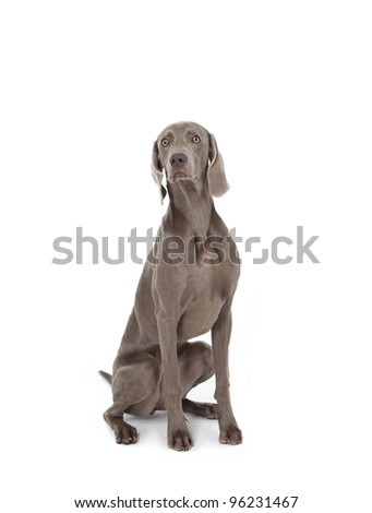 weimaraner studio portrait on white background, weimaraner - stock photo