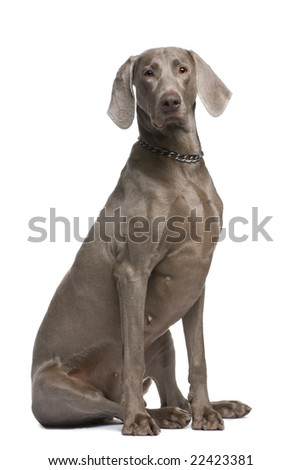 Weimaraner (2 years) in front of a white background #22423381