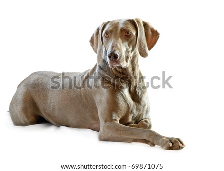 Weimaraner,6 years old  isolated on white #69871075