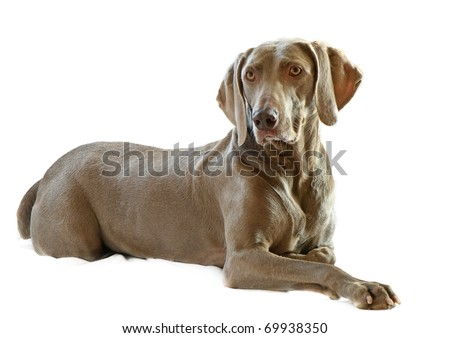 Weimaraner,6 years old isolated on white #69938350