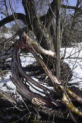 Weird cracked tree trunk of strange form on a snowy background. Small creek runs in a distance against a blue sky. Snow has almost melted up.