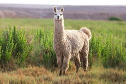 weird looking llama