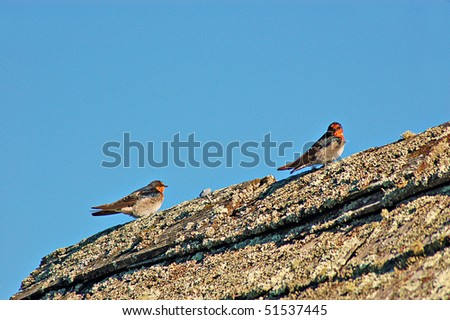 Welcome swallows ,(Hirundo Tahitica Neoxena) on shingle roof