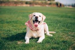 Well-bred dog. Labrador lying on a green lawn. Elderly labrador lying on the grass.