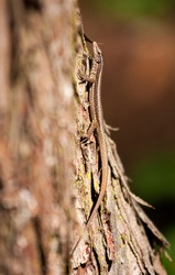 Well camouflaged reptile on a tree trunk. The Madeiran wall lizard (Teira dugesii) is an endemic species of the Madeira Archipelago, Portugal