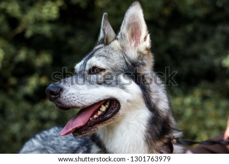 Well detailed Picture of a beautiful, fluffy and lovely white and grey puppy of siberian husky, watching focused away and smiling. The background is blurred. This samoyed has a big ears and tongue