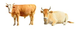 Well-groomed redhead with a white head horned bull, a stately beige horned bull lies on a white background isolated