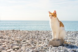 well-groomed white-and-red cat sits on a rock on a pebble beach against a background of blue sea and sky with white clouds in sunny weather with sun rays with copy space for text. Sea beach vacations