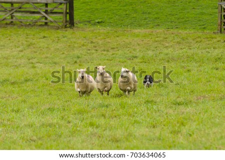 Welsh border collie sheep dog rounding up sheep on a farm in North Wales