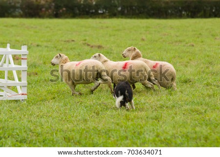Welsh border collie sheepdog rounding up sheep at a sheep dog trial competition in rural North Wales