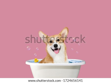 Welsh Corgi art. Happy Corgi in the bathroom. Funny portrait of a welsh corgi pembroke dog showering with shampoo. Dog taking a bubble bath in grooming salon. Сток-фото ©