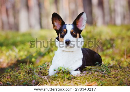 welsh corgi cardigan dog lying down